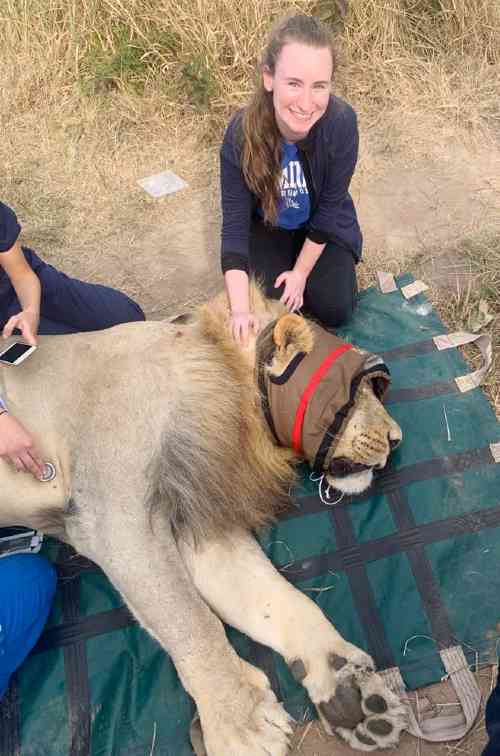 Izzie Krupa '22 helps with taking care of a lion during her South African veterinarian internship